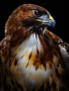 Red-tailed hawk from bird series by Bob Croslin