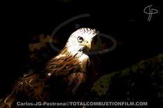 Águila que se dejó cazar por mi objetivo.
