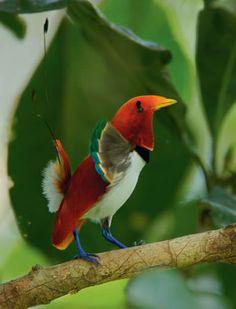 King Bird-of-Paradise, Paradisaeidae family, Cicinnurus regius