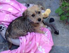 Bella As A Puppy My Maltese Dachshund Mix Is Soooo