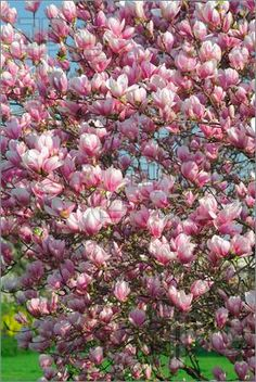 Magnolia tree in bloom...My favorite tree...and its pink!!! :)