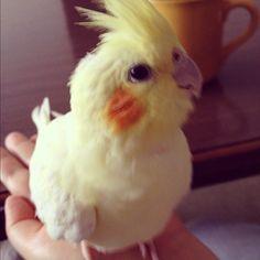 Funny Birds, Cute Birds, Pretty Birds, Beautiful Birds, Cockatiel, Budgies, Parrots, Animals And Pets, Cute Animals