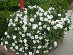 'Henry Hudson' Rose