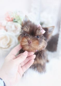 chocolate-yorkie-puppy-tba-2 Morkie Puppies For Sale, Teacup Yorkie For Sale, Teacup Puppies For Sale, Toy Puppies, Toy Yorkie, Biewer Yorkie, Yorkies, Miki Dog, Wire Fox Terrier Puppies