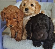 I am now obsessed with labradoodles.  They are the cutest little things.