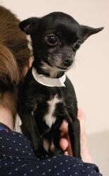 DAHLIA is an adoptable Chihuahua Dog in Rochester, NY.  ...