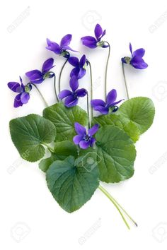 Violets And Leaves, Over White Background. Stock Photo, Picture And Royalty Free Image. Pic 7633849.