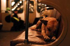 ALLPE Medio Ambiente Blog Medioambiente.org : Los inteligentes perros callejeros de Moscú (viajan en metro al centro para cazar incautos)