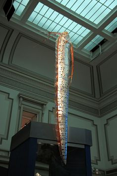 Model of an oarfish (Regalecus glesne) at the Sant Ocean Hall at the Smithsonian Museum of Natural History in Washington, D. The oarfish i. Mythical Sea Creatures, Weird Creatures, Salt Water Fish, Salt And Water, Pelagic Zone, Oarfish, Remo, Saltwater Fishing, Going Home