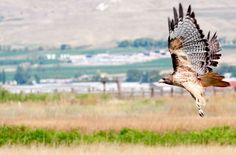 Cache Valley is home to a large variety of high-flying raptors. Here is a red-tailed hawk taking flight from a fencepost near the Logan Airport. (Photo by John Zsiray)