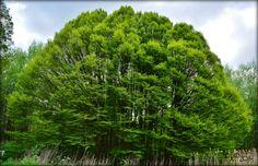 BomenBoom [Amsterdamse Bos NL] Spring 2014, Holland, Amsterdam, Plants, The Nederlands, The Netherlands, Netherlands, Plant, Planets