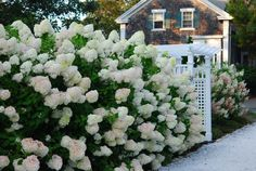 Hydrangea 'Limelight' hedge - photo by Avant Gardens