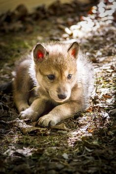 Wolf pup : aww STOP KILLING WOLVES !