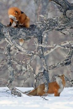 Foxes playing in the snow
