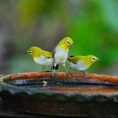 Oriental white-eye (Zosterops palpebrosus) is a small passerine bird in the white-eye family. ZOSTEROPIDAE.