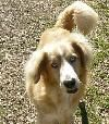 Name: Blitzen    Breed: Golden Retriever mix, possibly with Australian Shepherd    Age: est 2 years    Height: est 23 inches    Weight: about 38 lbs; needs to gain about 10lbs    Good with dogs? yes    Good with men? loves 'em    Good with women? loves 'em    House trained? working on it    Crate trained? yes    Leash trained? working on it    Must have fenced in yard? yes    Foster home is: Dreamweaver Farms Pacolet SC    Adoption fee: $200.00    Date into rescue: 12/14/12