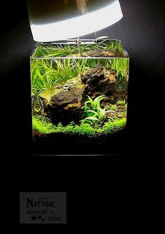 Aquatic plants, wood, stone and other natural decor for every aquarium and aquascape. Specialists in nature aquariums and aquascaping. -- Turning every aquarium into an aquascape! 5 Gallon Aquarium, Nano Aquarium, Nature Aquarium, Planted Aquarium, Aquarium Fish, Aquarium Ideas, Betta Tank, Betta Fish, Fish Tank