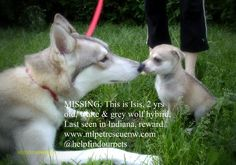 MISSING: This is Isis, 2 yrs old, white & grey wolf hybrid, Last seen in Indiana http://www.ntlpetrescuenw.com/our-missing-pets/ … pic.twitter.com/EdmxVVeeT8
