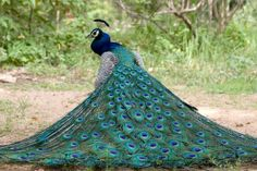 Peacock is the national bird of india. Peacock defines the eternal beauty and combination of excellent colors. Peacock is a very intelligent bird because it Pretty Birds, Beautiful Birds, Animals Beautiful, Beautiful Pictures, Cute Animals, Peacock Bird, Peacock Colors, Green Peacock, Peacock Wallpaper