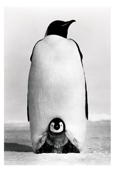 Penguin parenting #penguins