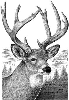 Gallery For gt Monster Whitetail Deer Buck Drawing