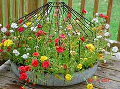 Chicken feeder filled with moss roses