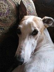 Embraced Greyhound, Conway. Click to learn the health dangers for this breed.
