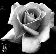 Flora Flowers, Beautiful Flowers Garden, Beautiful Roses, Pretty Flowers, Black And Grey Rose Tattoo, Black And White Roses, Rose Reference, Realistic Rose Tattoo, Rose Flower Tattoos