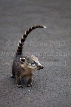 baby coatimundi | Coatis, Toucans and The Iguacu/Iguazu Falls from both the Brazilian ...
