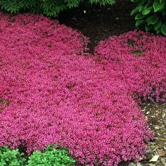 Red Creeping Thyme | Great Garden Plants Full Sun Plants, Full Sun Perennials, Flowers Perennials, Live Plants, Phlox Flowers, Perennial Grasses, Tiny Flowers, Beautiful Flowers, Ground Cover Seeds