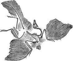 archaeopteryx - Google Search
