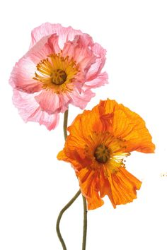 Crepe paper flower POPPIES, handmade and photographed by Papetal