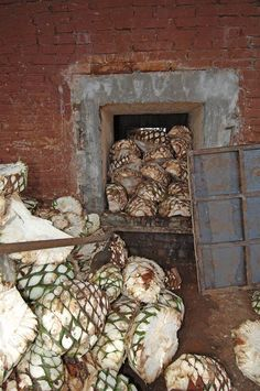 Raw agave hearts, cut in half, are loaded into adobe ovens to cook.