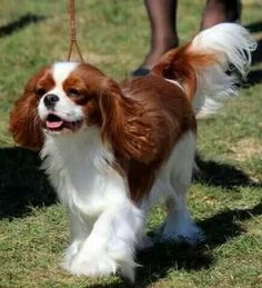 Perfectly Beautiful Cavalier