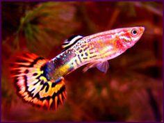 Guppies My Favorite Tropical Fish ~