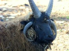 Cupcake is a Jacob's Four Horned sheep. He is beautiful. His wool would be of great benifit to a spinner or crafts person. Cupcake is a wether but  has all the characteristics of a ram. He is very protective and a great guard. He is not for the...