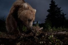 """""""This photo of a wild, Alaskan, brown bear digging on a game trail was taken with a home made motion controlled triggering device hooked up to my DSLR. """"  (Photo and caption by Jason Ching/National Geographic Photo Contest)"""