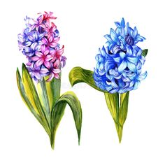 Wildflower hyacinth flower in a watercolor style isolated.. Illustration about foliage, closeup, spring, collection, hyacinth, flora, garden, element, palm, decoration - 96211286 Flora Garden, Spring Collection, Watercolor Flowers, Wild Flowers, Close Up, Palm, Decoration, Illustration, Plants