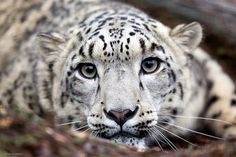 snow leopard (by Jahled71, via Flickr)