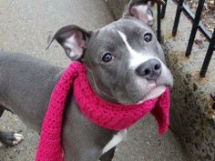 Meet GINA a Petfinder adoptable Pit Bull Terrier Dog | New York, NY | A volunteer writes:   A little grey munchkin lays quietly in her kennel waiting for her turn to go...