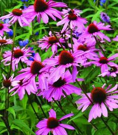 Perennials 10 of the Longest Flowering Perennials for Your Garden - With a little planning, your garden can offer color from early spring to late autumn. Here are 10 of the longest flowering perennials for flower gardens. Long Blooming Perennials, Shade Perennials, Weed Plants, Buy Plants, Echinacea Purpurea Magnus, Deer Resistant Perennials, Air Cleaning Plants, Butterfly Weed, Butterflies
