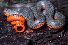 Regal Ring-necked Snake (Diadophis punctatus regalis)