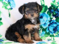 Minnie | Keystone Puppies: Puppies for Sale | Health Guaranteed    #morkie  #keystonepuppies