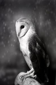 The Magnificent Barn Owl by Sham Jolimie