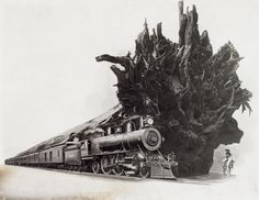 Illustration which shows a horseback rider near a fallen giant redwood tree and a train, to show the size of the tree ~