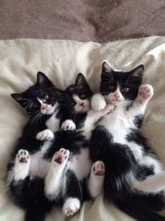 A triple cuddle pile of black and white kittens.