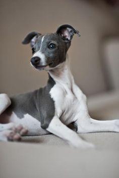 Italian Greyhound                                                                                                                                                                                 More