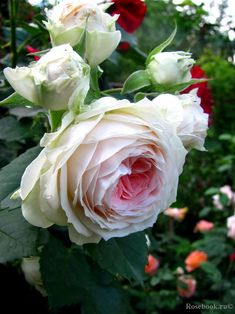 Pashmina Rose Kordes Germany 2003. Hybrid tea. Cream to light pink rose with a deep pink centre.