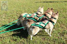 Arnês X-Back Verde Bandeira de Neoprene e guia sport para três cães #sleddog #mushing #sportdog #akdog