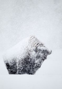 Snow Covered Buffalo (Bison bison) by Danny Green. Nature Animals, Animals And Pets, Cute Animals, Wild Animals, Wildlife Photography, Animal Photography, Beautiful Creatures, Animals Beautiful, American Bison